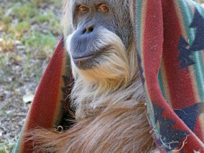Orangutan 50th Birthday Oklahoma City zoo cele...