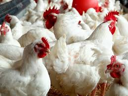Oklahoma agriculture board approves poultry farm proposals